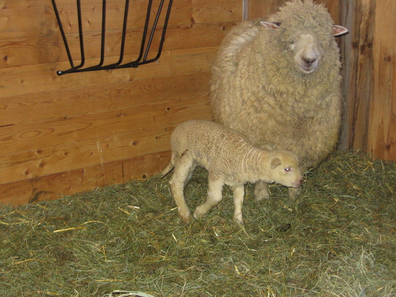 Mamma_and_baby_sheep